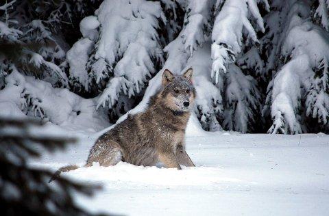 Ulv: Søndag ble det observert ulv nær Sør-Aurdal. Meldingen er foreløpig ubekreftet. (.Arkivfoto)