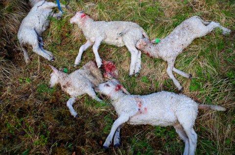 DØDE LAM: Ulvedrepte lam på Tynset i pinsen for tre år siden. Arkivfoto.