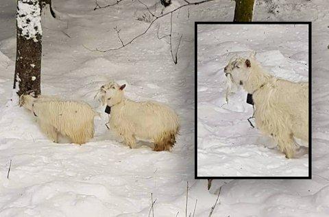 Flere forbipasserende sperret opp øynene da de så hva geiten spiste på.