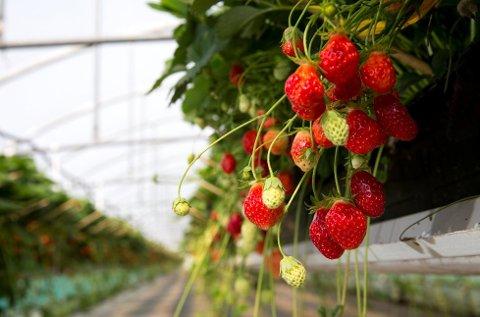 Hengende jordbær på Joa gård i Sola kommune. I år kan mange jordbærprodusenter holde sesongen i gang mye lenger enn før. Foto: Erlend Aas, NTB scanpix/ANB