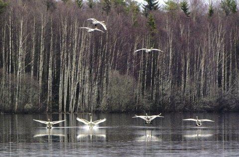 Inn for landing: En flokk sangsvaner går inn for landing på Gaustadsjøen. Sangsvanene skilles fra knoppsvanene på det gule nebbet og en rettere hals. Foto: Kjell R. Hermansen