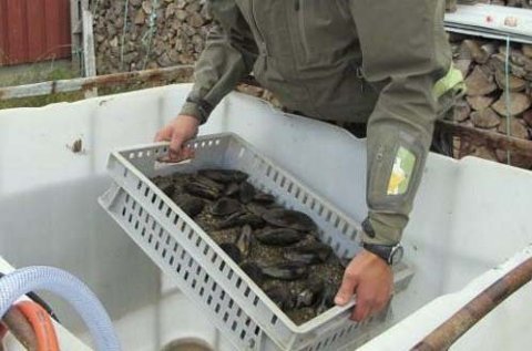 FLYTTESJAU: 381 levende elvemuslinger ble flyttet fra Fusta til naboelver før kjemisk behandling av innsjøene.  Foto: Bjørn Mejdell Larsen, NINA