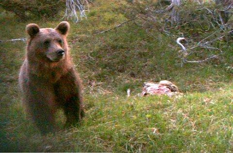 BJØRNEANGREP: En mann ble utsatt for et bjørneangrep ved Umgransele i Lycksele sist tirsdag