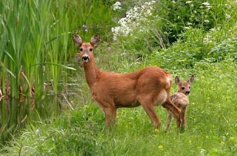 TID FOR FØDSLER: Det er mange små i naturen nå. La de små rådyra være i fred, sier Torben Hedegard.