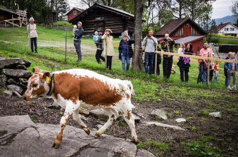 KLARE: Telemarkskuene kommer til Lågdalsmuseet, sammen med geiter.
