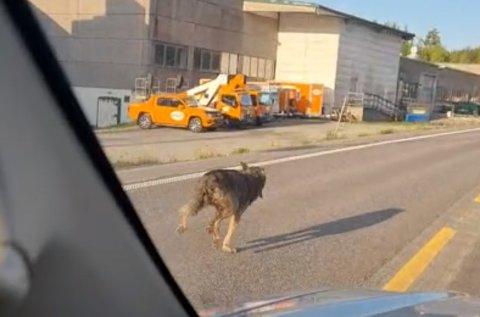 ULV? Statens naturoppsyn har falt ned på at dyret som ble filmet i Gjøvik mandag er «antatt ulv».