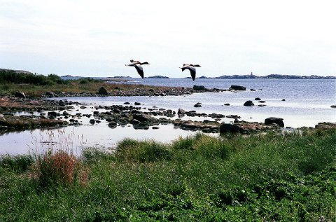 FUGLELIV: Et gravandpar i lav flukt over den rike fuglebiotopen Ringane i Sanvikbukta på Tjøllingkysten.
