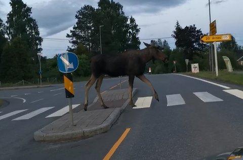 MYK TRAFIKANT: Elgen benyttet seg av fotgjengerfeltet for å krysse veien. Thomas Skaalerud fikk foreviget seansen å film.