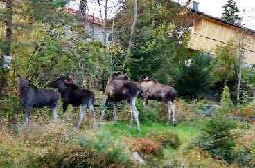 HELE KVOTA: Da Einar Lande kom hjem fra elgjakt i Telemark, ventet denne kvartetten på ham i hagen. – Vi fikk kun én elg i Telemark, ler jegeren som hadde fått større uttelling om han hadde holdt seg hjemme. Nå skal det bemerkes at jakt i en hage i et byggefelt uansett ikke er å anbefale.
