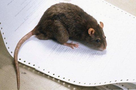 *** Local Caption *** Rotter og mus kan gjøre store skader dersom de kommer seg inn i boligen din.