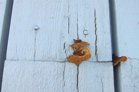 Her vokser vedmuslingen på en vegg uten takutspring som tar av for regn.