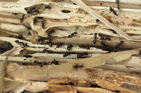 Selv om stokkmauren gnager i treverket for å bygge reir, blir det sjelden store skader i konstruksjonen.