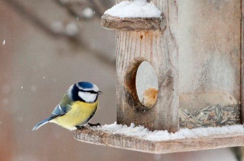 Slattum  20120128. Blåmeis på fuglebrett. Helgen 28.-29. januar blir Hagefugltellingen 2012 gjennomført over hele Norden.  Foto: Paul Kleiven / Scanpix