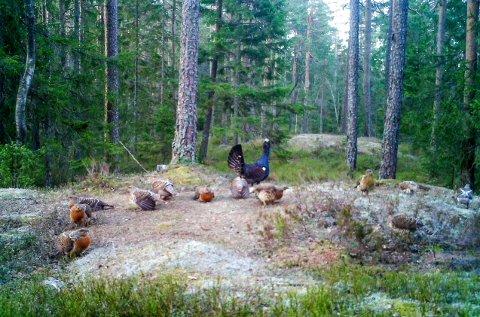Dette sjeldne bildet av en tiur og hele 12 parringsklare røyer ble tatt på Skjærtjernleiken i Trømborgfjella 22. april 2017, klokka 06.19 på morgenen. Bildet ble tatt med et viltkamera som ble satt opp en kort stund for å registrere hva som skjedde på leiken.