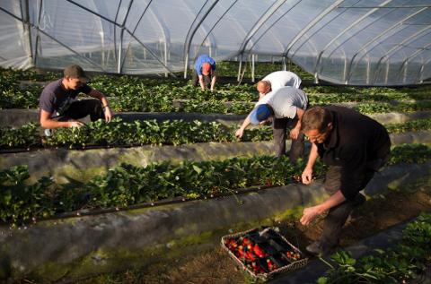 På grunn av Korona-krisen risikerer jordbærbønder å ikke få tak i nok arbeidere.