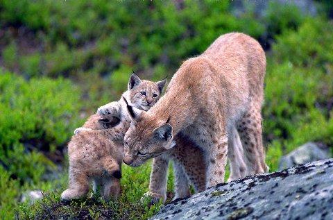 Gaupe (Felix Felix) med unger.