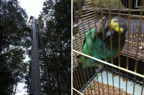 Rømlingen Polly ble satt i bur da den var tatt ned fra tretoppen.