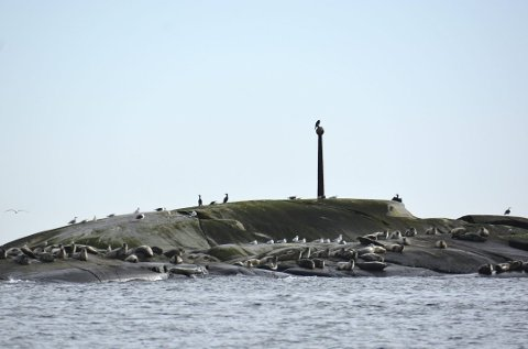SOM ET SKUDD: Årets jaktkvote på steinkobbe i Vestfold og Telemark var skutt ut i løpet av en dag. Nå tar sterke krefter til orde for økte kvoter, bl.a. for å bidra til å få torskebestanden i Oslofjorden opp igjen.