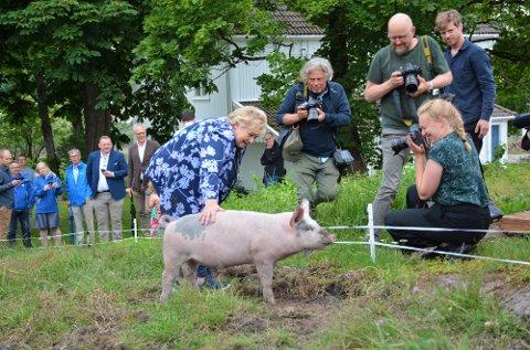 VERDSATT: Det er ikke bare blant grisene i Vestfold at Erna Solberg er populær, hun har også en ledelse på Jonas Gahr Støre som den foretrukne statsministerkandidaten.