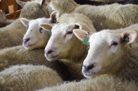 SAU: I slutten av april startet lamminga i sauefjøsene i Fjellregionen. I juni bærer det til fjells på utmarksbeite for sauer og lam.