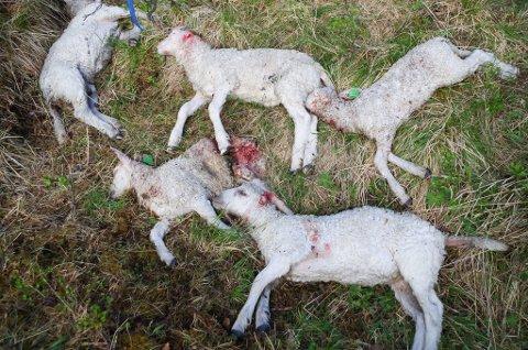 ROVVILTSKADER: Når rovvilt gjør skade i beiteflokkene, kan Fylkesmannen gi fellingstillatelse. Kommunale rovviltlag har jobben med å felle rovdyret. Bildet viser sauedrepte lam i Tynset, i et område prioritert for beitedyr.