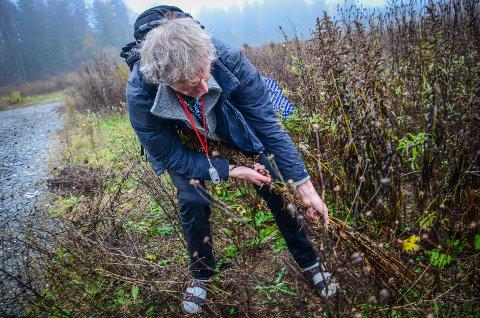BORT MED DRITEN: Botaniker Anders Often vil røske bort svartelistet ugress i Ås. Kommunen og grunneiere må ta større ansvar, mener han.