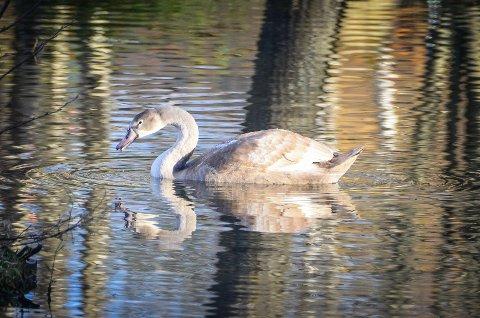 ENGASJERER: Den unge svanen som holder til i Skogsdammen i Ås engasjerer lokalbefolkningen. Både Follo landbrukskontor, Ås kommune og NMBU har fått mange henvendelser fra Åsfolk som er bekymret for svanen.