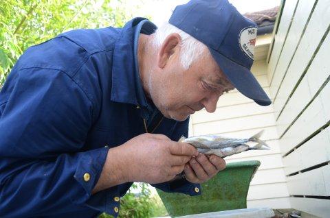 Hummeragn: Ola Odland lukter på makrell, som har ligget i et spann i bakgården i to uker og skal ligge og godgjøre seg  enda et par uker til hummmerfisket starter.