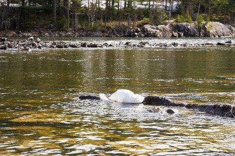 LIGGER I VANNET: Den ene av de to døde svanene Bygdeposten fant torsdag, ligger i vannet ved Øya i Vikersund.