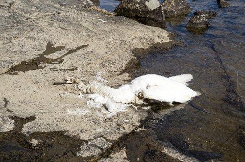 EN AV FLERE: Dette er en av i alt fem døde svaner som skal ha vært observert på og ved Øya.