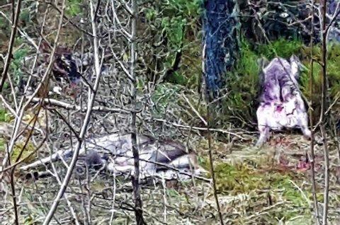 GROTESKT: – Det er ikkje greitt at slike hjorteskrottar ligg slengt ved turvegen, seier Inger Myrvang som kom over desse då ho var på tur med hunden sin fredag