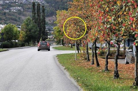 SKJULT: Skiltet som skal gjere trafikantar merksame på den sjølvkøyrande minibussen på Ytre Øyrane i Førde er skjult bakom nokre tre.