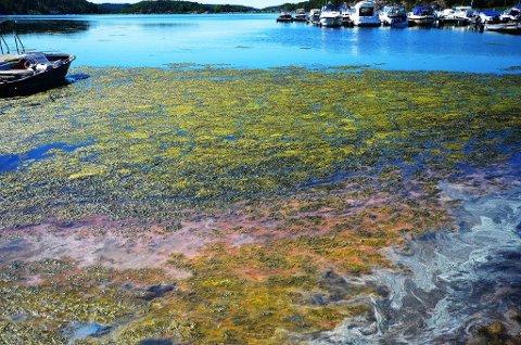 Vispen i juli 2018: Slik så det ut ved badeplassen sist sommer.Skjærviken lokalsamfunnsutvalg etterlyser handling for å blitt kvitt algeoppblomstringen. (Foto: Privat)