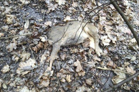 POLITIANMELDT: Rådyret ble funnet med kraftige bitt i halsregionen og på bakparten. Undersøkelsesrapporten konkluderer med skader påført av hund med døden til følge.