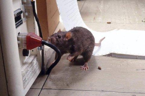 SKADE: Rotter i huset gjør stor skade. Og ikke minst får de en imponerende ungeflokk i løpet av vinteren.