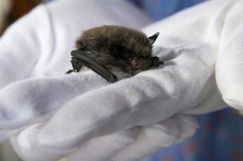 Finner du en død eller syke vannflaggermus er du pliktig til å varsle Mattilsynet. Foto: Scanpix