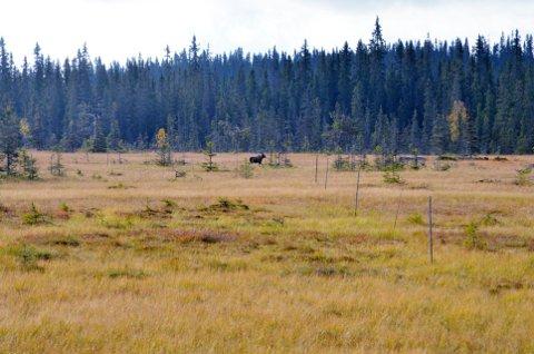 ELG PÅ MYRA, MEN ...: Denne elgen vandret over ei av myrene i Gropmarka søndag formiddag. Men fra observasjonsposten til Jostein Volden var det over 250 meter, så skudd ble ikke løsnet.