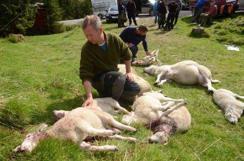 Bekymret: Kjetil Ulset i Gran saubeitelag med noen av sauene som er tatt av ulv. Rovviltkontakt Jon Petter Bergsrud like bak.