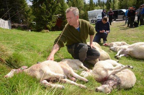 Flere ulveofre: Kjetil Ulset i Gran saubeitelag tar en titt på noen av sauene som ble tatt av ulv natt til tirsdag eller tirsdag morgen.