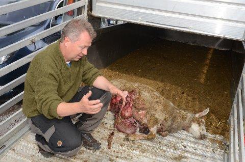 Grusomt syn: Kjetil Ulset og en av søyene som har blitt påført de verste skadene av ulven som herjer. – Bestialsk, sier Ulset.
