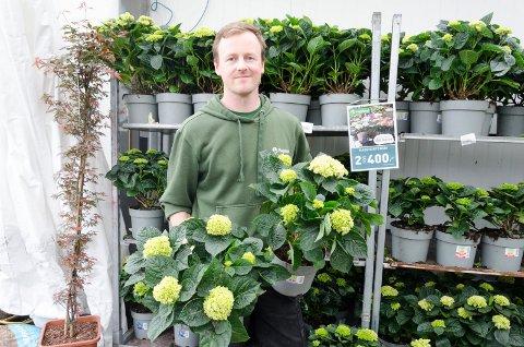 FAVORITTEN: Thor Rørvik hos Hageland Hønefoss selger mye Hagehortensia nå på våren.