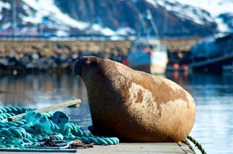 UNG: - Fordi tennene er korte, dreier dette seg mest sannsynlig om en ung hvalross, sier professor i Tromsø.