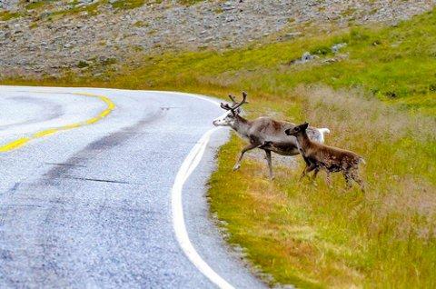 KOMMER MED RÅD: Vegtrafikksentralen nord melder at det er en del rein langs veiene i Finnmark. I tillegg kan man møte dem i tunnelene i Finnmark, ettersom de trekker inn i dem for å kjøle seg ned når det blir varmt ute..