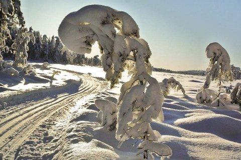 HVIT VINTER: Dette er drømmescenarioet til Mangenfjellet turlag. En lang, hvit vinter med snøtunge busker som bøyer seg i ærbødighet for turfolket, som her på Midtfjellmosen. Foto: Øivind Eriksen