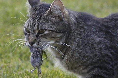 Økning i dødsfall: Det meldes om en kraftig økning av katter som dør plutselig i Vestfold. Det virker som om musegiften alfakloralose er årsaken.foto: NTB/Scanpix