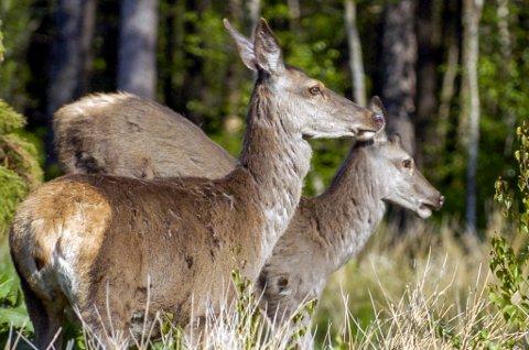SKADELØYVE: 10 hjortar på Hatlestrand lever farleg ein månads tid.
