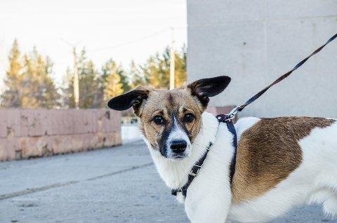 BÅNDTVANG: 1. april til 20. september er det båndtvang for hunder i Kongsberg.