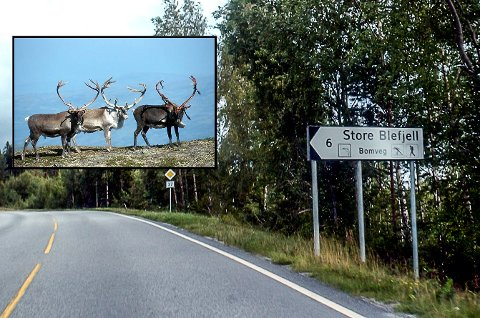 SIER NEI: Turistutbygging på Store Ble/Nordstul i Notodden har vært diskutert i flere ti-år. Statsforvalteren, og tidligere Fylkesmannen, vil ta vare på reinstammen, og sier nei igjen.