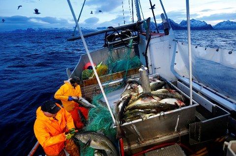 Skreisesongen er i gang, og 686 utenlandske sesongarbeidere ventes til Lofoten i ukene framover. De fleste skal jobbe på land, vel å merke.