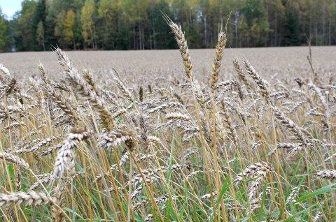 HALVERT: Sterk tørke gjorde at fjorårets kornavlinger ble halvert.